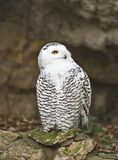 Snowy owl 2. The snowy owl (Nyctea scandiaca) in the Moscow zoo Stock Images