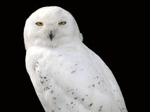 Snowy owl. A white snowy owl with his yellow eyes stock photos