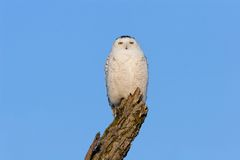 Snowy Owl. Perched against a blue sky - Bubo scandiacus Royalty Free Stock Image
