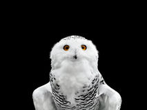 Snowy owl. Photo of the snowy owl with yellow eyes over dark background Royalty Free Stock Photos