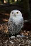 Snowy Owl. (Bubo scandiacus) in the forest Royalty Free Stock Photo