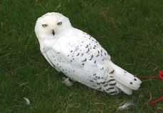 Snowy owl. Sitting on the ground at a wildlife bird show Stock Image