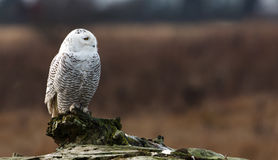Snowy Owl. January 2012,  About 28 snowy owls near the foot of 72nd Street on Boundary Bay, Delta, BC, Canada Royalty Free Stock Images