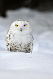 Snowy owl. Sitting on the snow royalty free stock images
