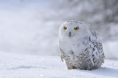 Snowy owl. Sitting on the snow Royalty Free Stock Image