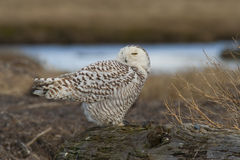 Snowy Owl. A young snowy owl (Bubo scandiacus) rests at Boundary Bay, BC, Canada. Once every several years, large numbers of snowy owls migrate in the winter as stock images