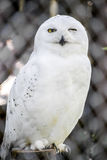Snowy Owl. In Captivity In A Local Zoo. The  (Bubo scandiacus) is a large owl of the typical owl family Strigidae Stock Photos