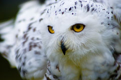 Snowy Owl. A staring snowy owl waiting to pounce Royalty Free Stock Photos