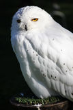 Snowy owl. (Bubo scandiacus Stock Photos