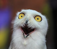 Free Snowy Owl Stock Images - 29620974