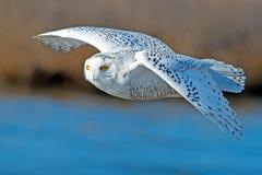 Free Snowy Owl Stock Image - 37176971