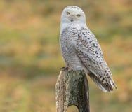 Free Snowy Owl Royalty Free Stock Photo - 37249725