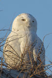 Snowy Owl. Portrait, taken at Delaware Seashore State Park Stock Image