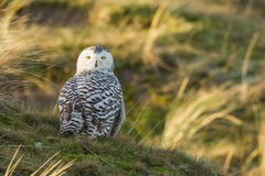 Snowy owl. Close-up on vlieland Royalty Free Stock Photos