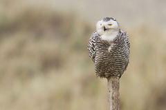 Snowy owl. Close-up on vlieland Royalty Free Stock Photography