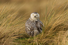 Snowy owl. Close-up on vlieland Stock Photos