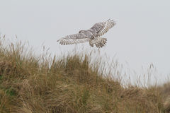 Snowy owl. Flies in the air Stock Photos
