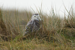 Close-up Snowy owl. Snowy owl close-up on vlieland Royalty Free Stock Photography