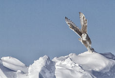 Snowy Owl. Taking off in flight from a snow pack.  Winter in Minnesota Royalty Free Stock Images