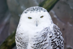 Free Snowy Owl Stock Photos - 4406703