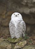 Snowy owl. The snowy owl (Nyctea scandiaca) in the Moscow zoo Stock Photo