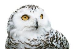 Free Snowy Owl Stock Image - 45462591