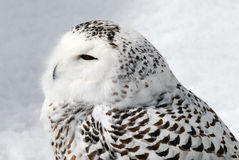 Snowy Owl. Close-up picture of a male Snowy Owl Royalty Free Stock Image