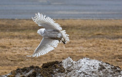 Snowy Owl. Taking off from snow pile stock image