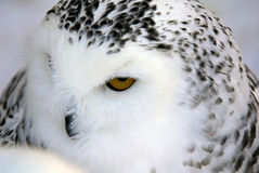 Snowy Owl. Close-up picture of a male Snowy Owl Stock Image