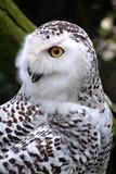 Snowy owl. Bird of prey Stock Photos