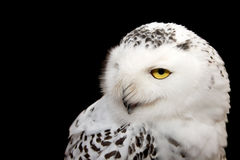 Snowy Owl. Isolated on black Stock Photos