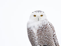 Snowy Owl. The Snowy Owl is an Arctic bird that may migrate south if food stocks diminish royalty free stock photo