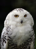 Snowy Owl. Portrait of a Snowy Owl Stock Photography