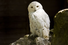 Snowy owl. Snowy arctic owl perched on a rock Royalty Free Stock Photos