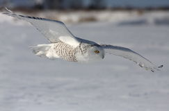Snowy Owl in action Royalty Free Stock Photography