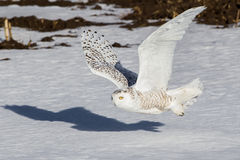 Snowy Owl. Adult Female Snowy Owl Flying Over Snow Covered Field Stock Images