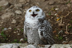 Snowy owl. Snowy american white owl raptor Royalty Free Stock Images