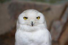Snowy owl in Antwerp Zoo, Belgium Royalty Free Stock Photography