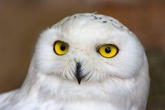 Snowy owl in Antwerp Zoo, Belgium Royalty Free Stock Photos