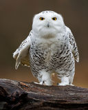 Snowy Owl with an attitude Royalty Free Stock Images