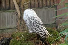 Snowy Owl at Banham Zoo. The snowy owl is a large, white owl of the typical owl family. Snowy owls are native to Arctic regions in North America and Eurasia royalty free stock image