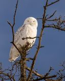 Snowy Owl on bare tree top in Winter. Snowy Owl in rural area on bare tree top in winter branch female sleeping Stock Photos