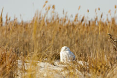 Snowy Owl on Beach surrounded by Reeds , Sky. This camouflaged male Snowy Owl migrated south for the winter and makes its winter home blending in amongst the Stock Images