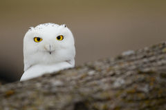 Snowy owl behind fallen tree. A Young female Snowy Owl sitting behind a tree Stock Photo