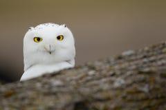 Snowy owl behind fallen tree Stock Photo