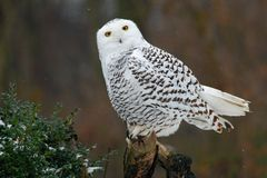 Snowy owl, bird with yellow eyes sitting in tree trunk, in the nature habitat, Sweden Stock Image