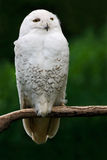 Snowy owl, bird with yellow eyes sitting in tree trunk, in the nature habitat, Sweden. White bird with dark green background. Stock Photos