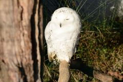 Snowy owl on branch Royalty Free Stock Photography