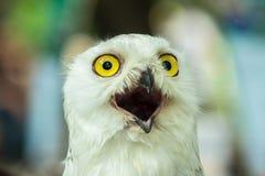Snowy Owl (Bubo Scandiaca) Stock Image