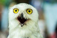 Snowy Owl (Bubo Scandiaca) Royalty Free Stock Photography
